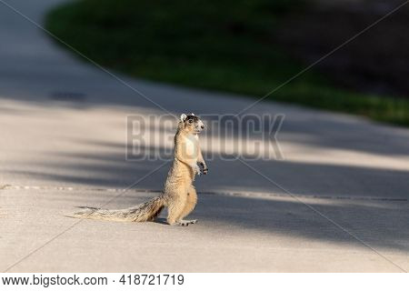 Fox Squirrel Sciurus Niger Stands On His Hind Legs As He Remains Alert And Watches Out For Predators