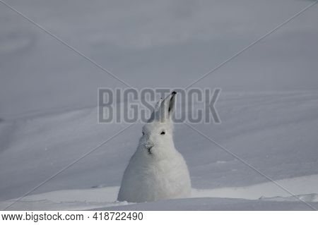 Arctic Hare, Lepus Arcticus, Found In The Snow Covered Tundra, Staring Off Into The Distance With Ea