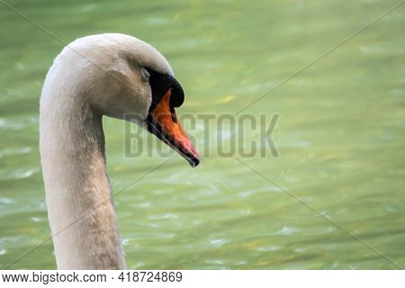 Portrait Of A Graceful White Swan With Long Neck On Green Water Background. The Mute Swan, Cygnus Ol