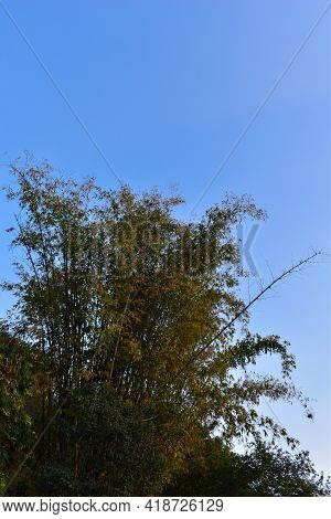 Picture Of Bambusoideae Tree In Day Time
