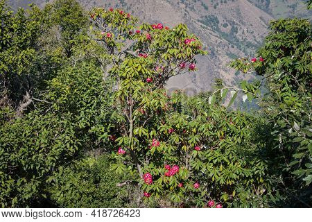 Picture Of Pink Rhododendron Flower Tree. Himachal Pradesh, India.