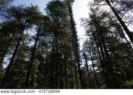 Outdoor Picture Of Deodar (himalayan Cedar) Trees In Himachal Pradesh, India