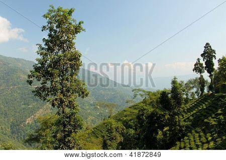 Tea Plantation, Darjeeling, India
