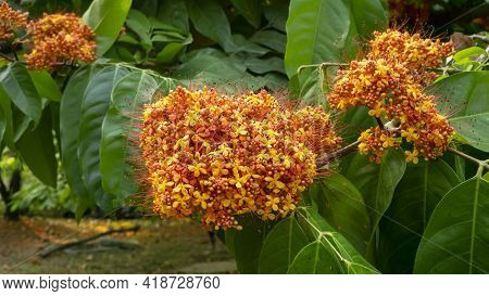 Bunches Of Golden Petals Of Yellow Saraca Or Yellow Ashoka On Green Leaf, Tropical Flowering Tree In