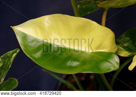 Beautiful Yellow And Green Half-moon Leaf Of Philodendron Burle Marx Variegated
