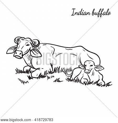 Cow Breeding. Animal Husbandry. Livestock. Vector Sketch On A White Background