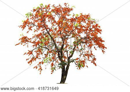 Orange Flower Of Big Palas Tree Were Blooming.the Pala Flower Isolated On A White Background With Pa