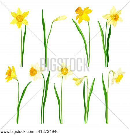 Narcissus As Spring Flowering Perennial Plant With White And Yellow Flowers And Leafless Flower Stem
