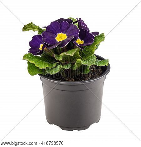 Potted Dark Purple Primula Or Primrose With A Bright Yellow Center Isolated On White Background