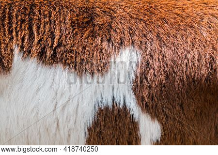 Brow And White Cow Fur Texture Use For Background