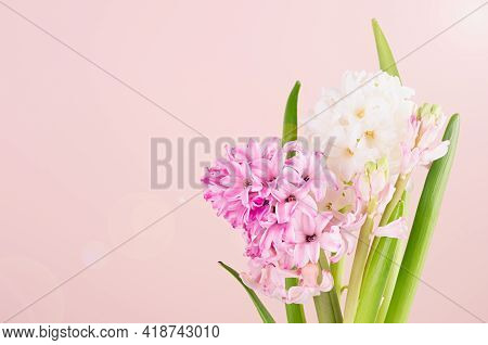 Bright Exquisite Pink Hyacinth Flowers On Pink Background With Sunlight And Sun Flare Flare Closeup,