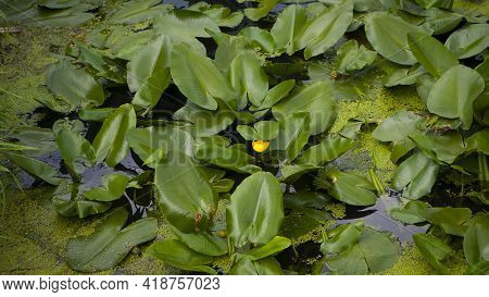 Yellow Lily Flowers And Green Leaves In A Pond. Yellow Water-lily, Flower Closeup On A Background Of