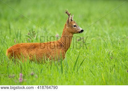 Interested Roe Deer Buck Looking Aside On A Green Meadow In Summer