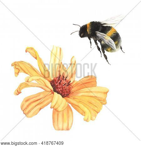 Garden flower Heliopsis and flying bumblebee. Design elements, yellow daisy and beautiful summer insect, watercolor isolated illustration on white background.