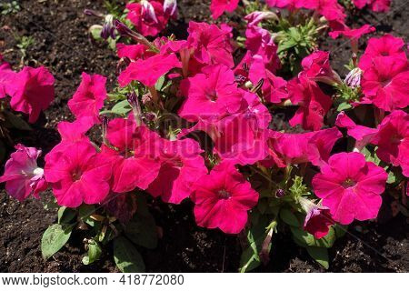 Brilliant Magenta Colored Flowers Of Petunias In Mid June