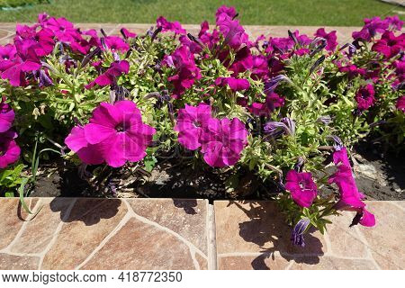 Common Petunias With Magenta Colored Flowers In July