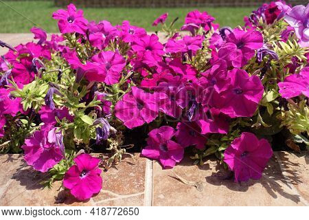 Compact Magenta Colored Flowers Of Petunias In Mid July