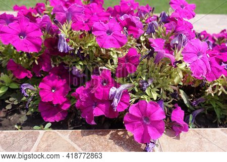 Cultivated Magenta Colored Petunias In Full Bloom In Mid July