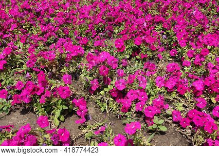 Whole Lot Of Magenta Colored Flowers Of Petunias In Mid July