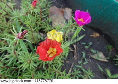 Red, Yellow And Pink Flowers Of Portulaca Grandiflora In July