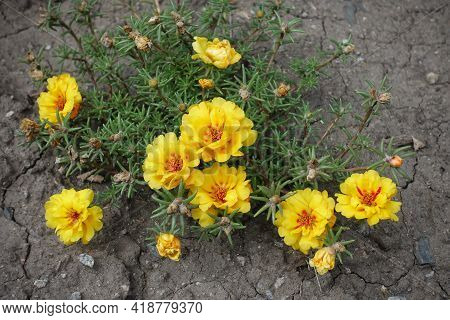 Double Yellow Flowers Of Portulaca Grandiflora In August