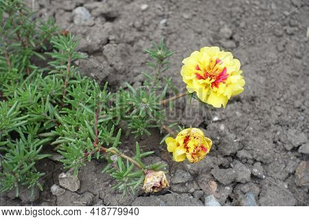 Two Double Yellow Flowers Of Portulaca Grandiflora In July