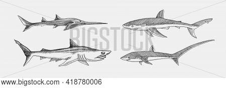 Blue Shark And Sixgill Sawshark. Sand And Thresher Shark. Marine Predator Animal. Sea Life. Hand Dra
