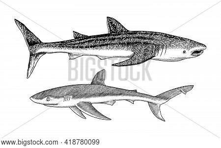 Whale Shark And Blue Shark. Marine Predator Animal. Sea Life. Hand Drawn Vintage Engraved Sketch. Oc