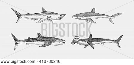 Whale And Blue Shark. Great Hammerhead And Sand Shark. Marine Predator Animal. Sea Life. Hand Drawn