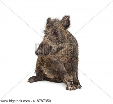 Sitting Wild boar, isolated on white. Weird position