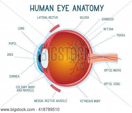 Cartoon Eye Anatomy Scheme. Human Eye Ball Infographic, Eyeball Inner Structure Vector Illustration.