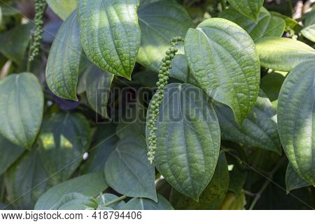 Fresh Green Peppercorns Or Piper Nigrum Linn On Tree