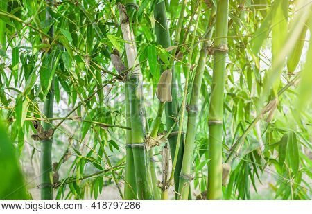 Bamboo. Bamboos Forest. Growing Bamboo Border Design Over Blurred Sunny Background. Closeup. Japanes