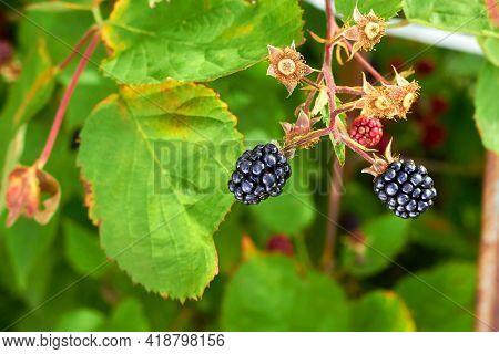 Ripe Blackberry In A Garden. Branch Of Ripe Blackberries In A Garden On Green Background.