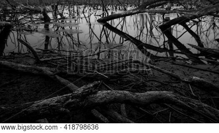 Dead Tree In Degraded Mangrove Forest. Environmental Crisis From Climate Change, Pollution, Sediment