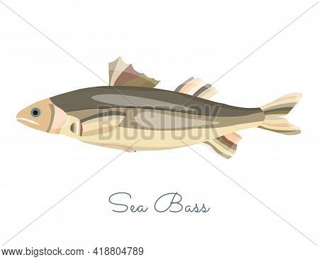 One Isolated Sea Bass Fish Made In Flat Style. Colored Sea Bass Without Outlines, With Light Glare A