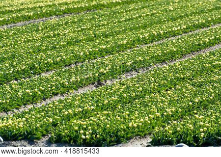 Tulips Bulbs Production In Netherlands, Colorful Spring Fields With Blossoming Tulip Flowers