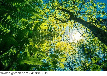 A Beautiful Fern Leaves From Below. Fern Growing In The Forest During Summer. Woodlands Vegetation I