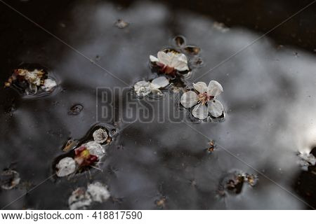 Puddle Of Spring Flowers And A Reflection Of A Tree After Rain.