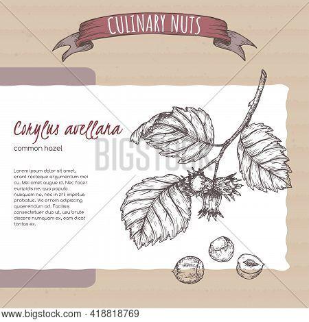 Corylus Avellana Aka Common Hazel Branch And Nuts Sketch On Cardboard Background. Culinary Nuts Seri
