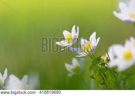 Group Of Anemone, Windflower, Ranunculaceae Flower In Nature