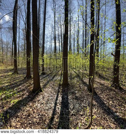 The Panoramic View Of Spring Park At Sunny Day, Shadow Of Black Trunks Of Trees At Clear Weather
