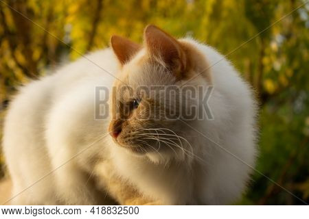 Adorable White Long-haired Siamese Cat. Cat Resting In The Sunset Light. Selective Focus.