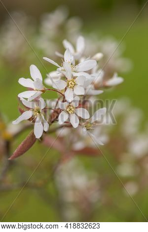 Smooth Serviceberry (amelanchier Laevis) Flowers