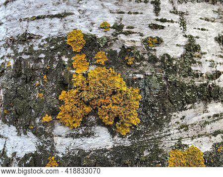 New Xanthoria Parietina On The Birch Tree. In Spring. A Leafy Lichen. Names Are Orange Lichen, Yello