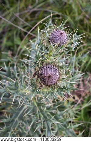 Beautiful Purple Thistle Flower. Burdock Flower Spiny Close Up. Flowering Medicinal Plants Are Thist