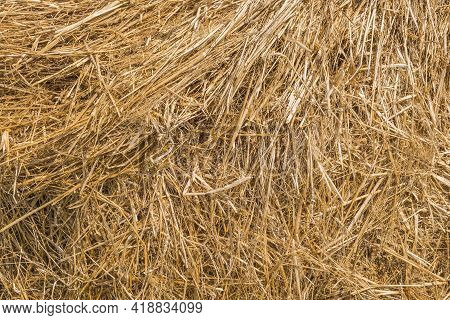 Full Frame Of Fresh Straw As A Background. Livestock Bedding. Thatching, Biomass And Basketry Organi