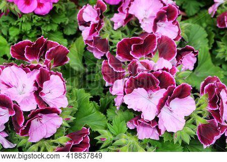 Lush Inflorescences Of Burgundy-pink Bicolor Pelargonium Among The Greenery In The Garden, Macro Pho