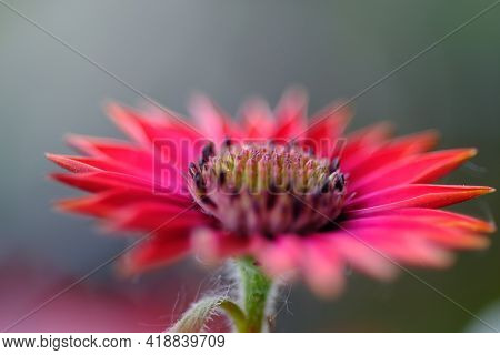 Close Up Of A Red Osteospermum Flower, Also Known As African Daisy
