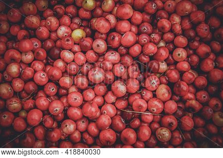 Cranberry Background, Berry Texture. A Lot Of Cranberries Are Scattered On The Table.